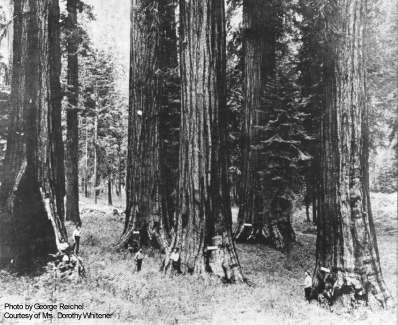 Historic photo of sequoias