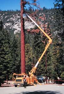 Truck with a large extension arm lifts a park forester to the top of a dead tree