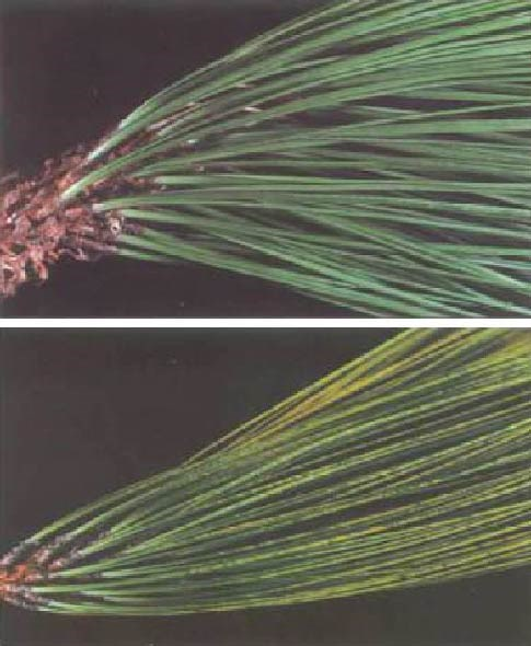 Healthy pine needles are shown in upper image, and unhealthy needles (with yellow mottling from ozone damage) are shown in lower image.