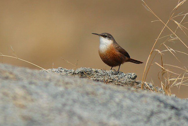 Canyon wren perched on granite rock