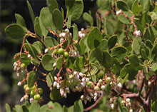 Greenleaf manzanita with unripe berries
