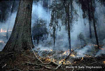 Smoke curls up from burning duff on the ground in a sequoia grove