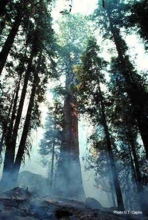Smoke curls up from a prescribed burn in a sequoia grove.