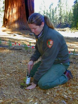 Park biologist plants a giant sequoia seedling.