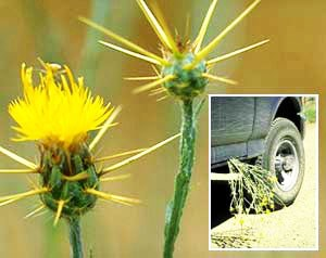 Bright yellow spikes of the yellow star thistle