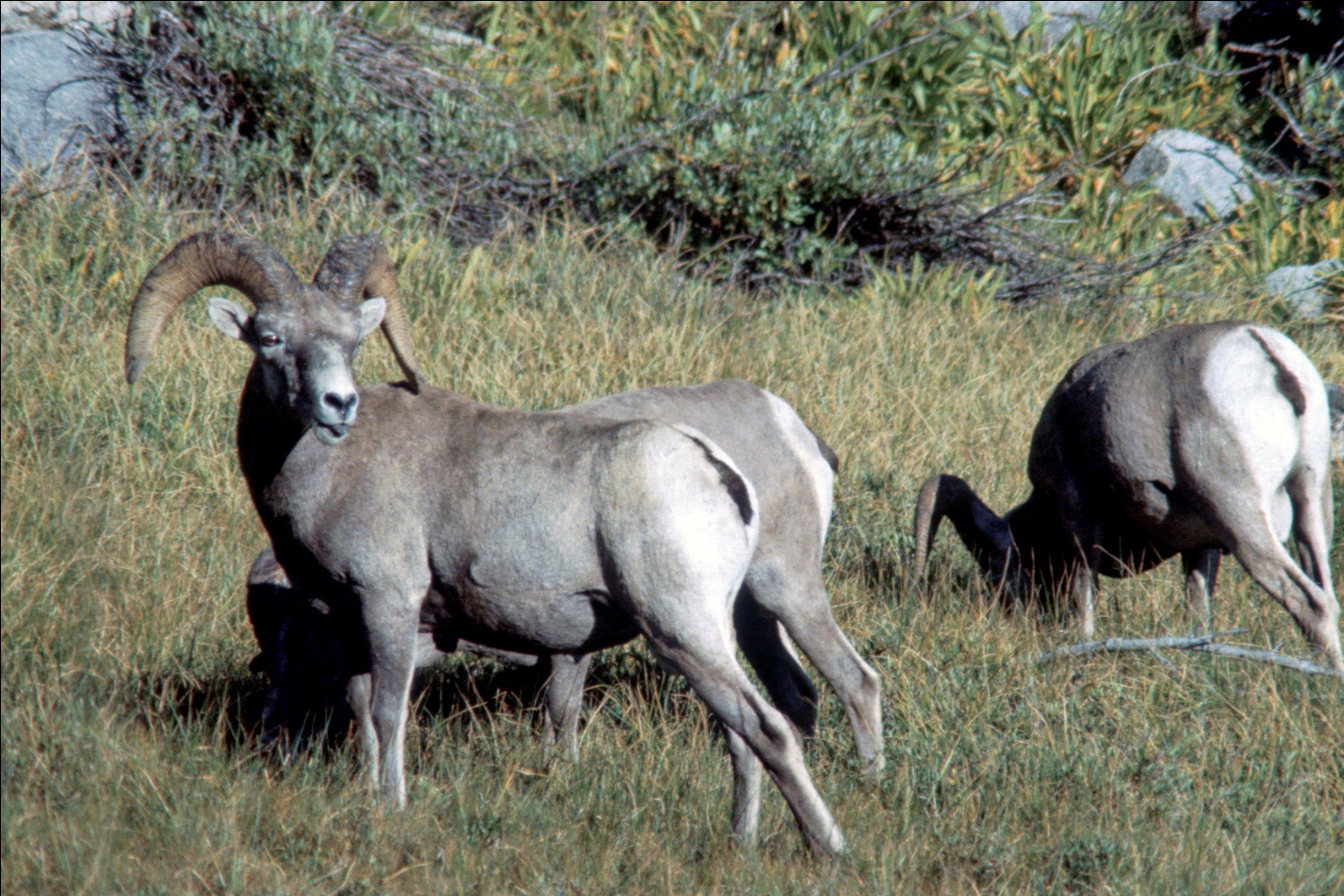 Endangered Sierra Nevada Bighorn Sheep Restored To Yosemite And Sequoia National Parks Sequoia Kings Canyon National Parks U S National Park Service