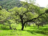 Blue Oak webcam