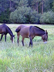 Two horses graze in a meadow