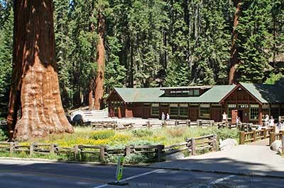 A mature giant sequoia near the rustic Giant Forest Museum building