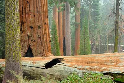 A large sequoia stands over a fallen sequoia log