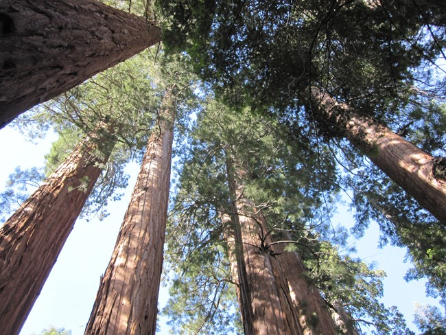 Looking up through giant sequoias at Redwood Mountain Grove.