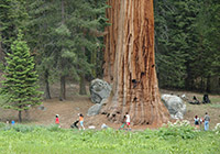 People along a trail are dwarfed by a giant sequoia