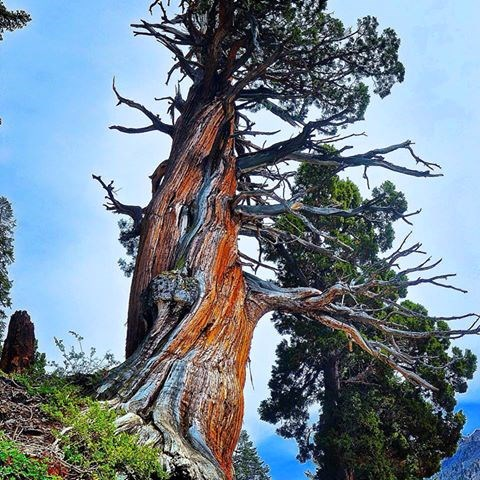 A weathered juniper tree