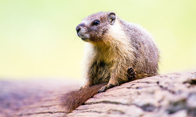 A yellow-bellied marmot sits on a log