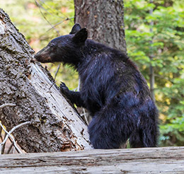 A black bear sniffs a fallen log