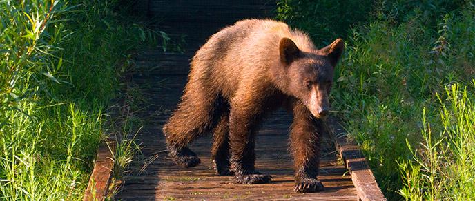 Black Bear Encounters - Sequoia & Kings Canyon National Parks (U S