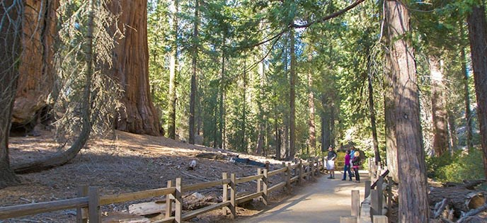 People on a paved, fenced trail look up at a monarch sequoia