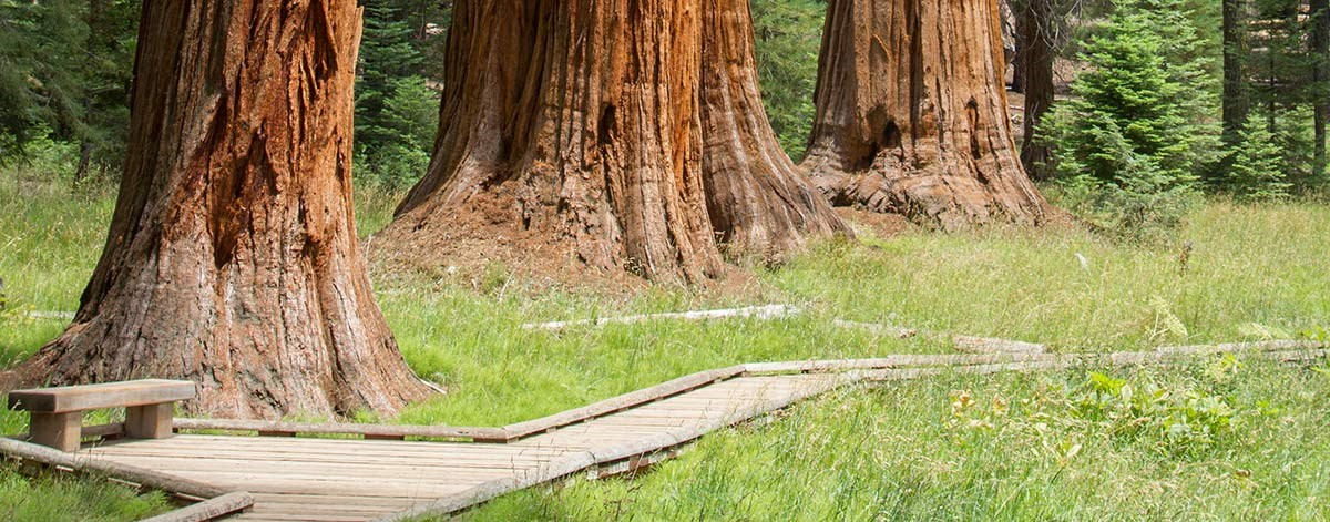 a wooden boardwalk through a sequoia grove