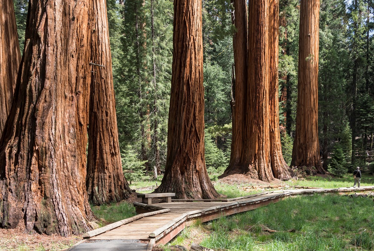 Giant sequoias tower over a wooden boardwalk