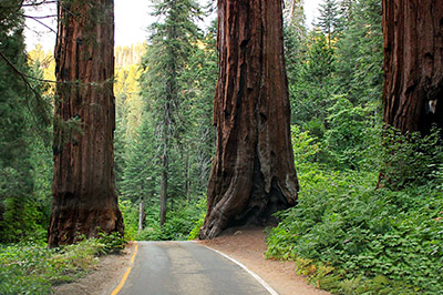 A road passes between two large sequoias