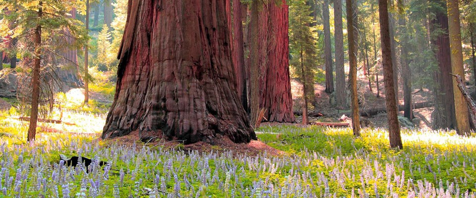 A mature sequoia among blooming lupine flowers