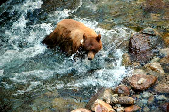 Bear fords a mountain stream
