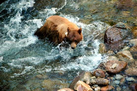Bears crosses a surging river