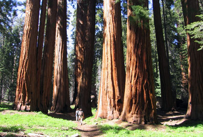 Hikers in a sequoia grove