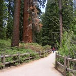 Grant Tree Trail in Grant Grove