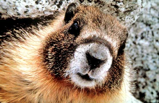 Image of the face of an inquisitive marmot