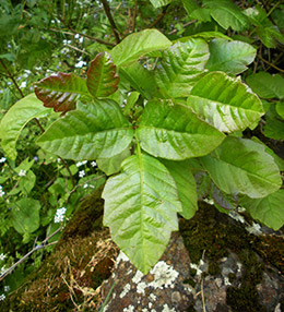 Poison oak has leaflets in groups of three.