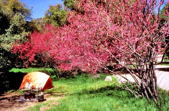 Campground in Potwisha with flowering dogwood