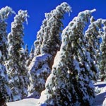 Trees in the mid-level conifer belt are superbly adapted to living with snow and ice.