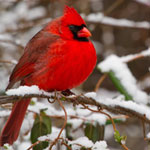 A bright red cardinal sits on a snow-covered twig.