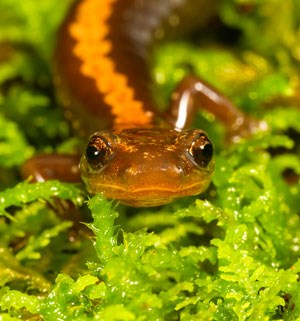 A close up of the Shenandoah Salamander in the moss.