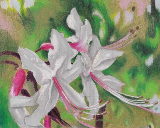 A painting of a white and pink flower