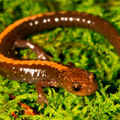 A brown salamander with an orange stripe along its back lays upon a verdant patch of moss.