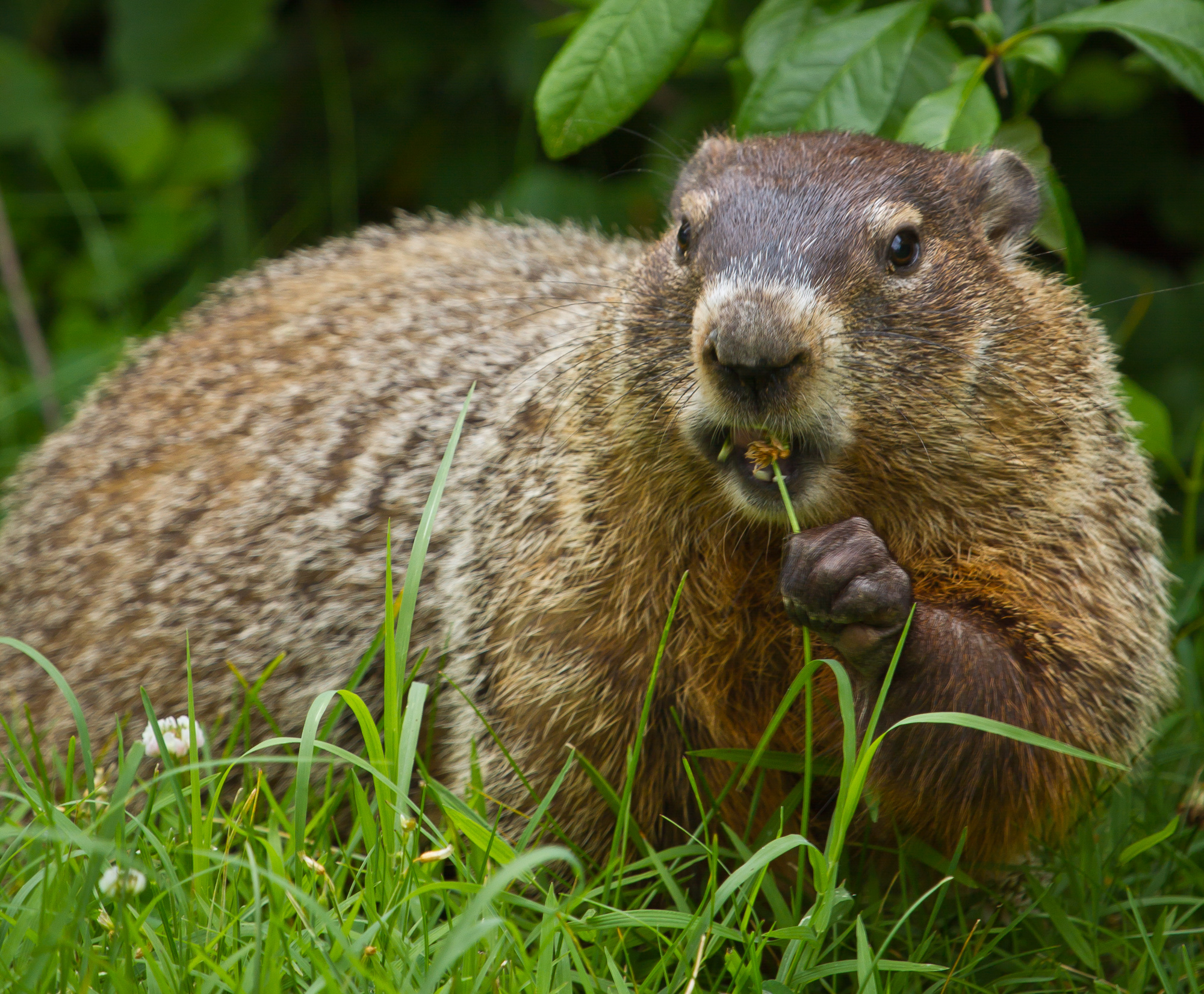 A groundhog eating clover