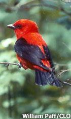 Male Scarlet Tanager in breeding plumage. By William Paff, Cornell Lab of Ornithology.