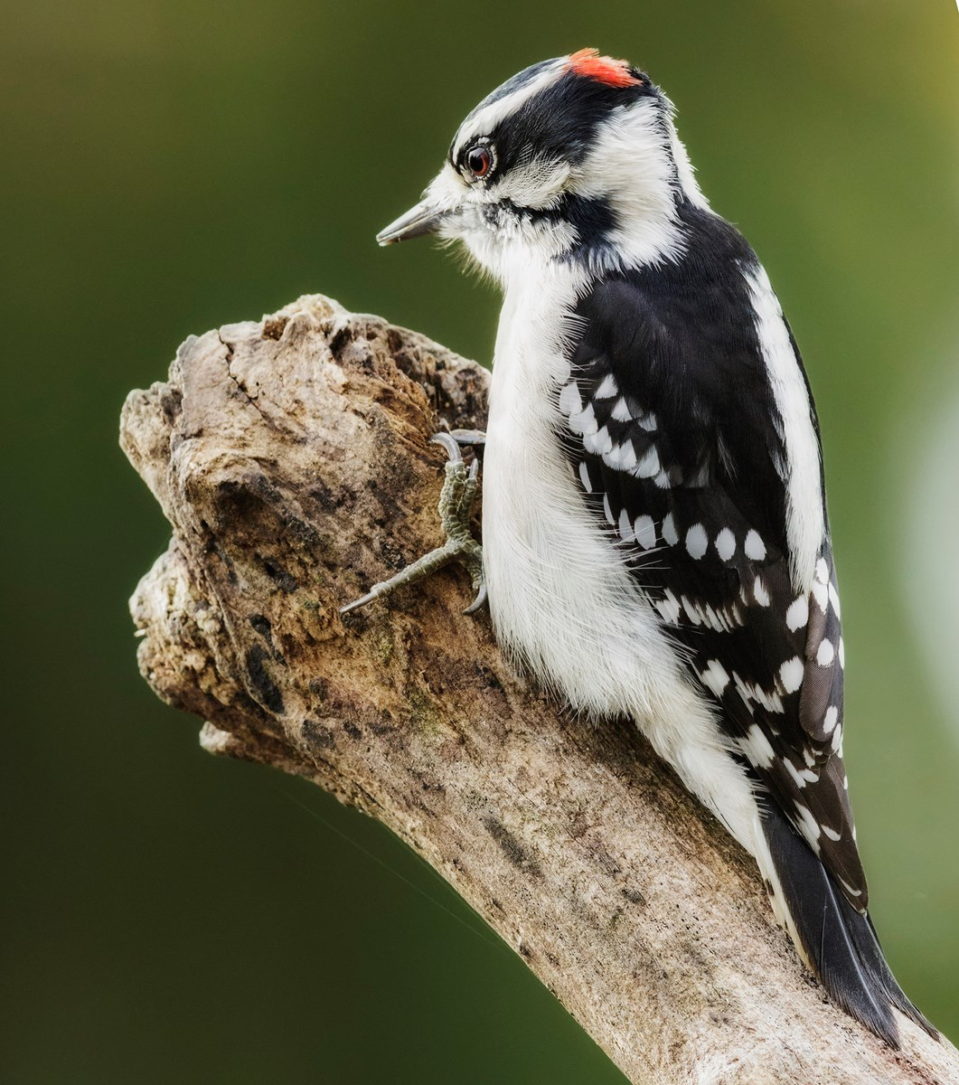 A woodpecker perched on a branch getting ready to peck.