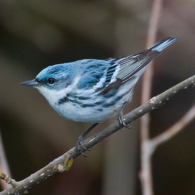 A blue and white streaked bird perches on a branch