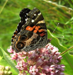 American-Lady Butterfly with wings closed, perched on blooming milkweed.