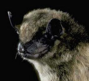 Big brown bat (Eptesicus fuscus) Photo: Merlin D. Tuttle, BCI