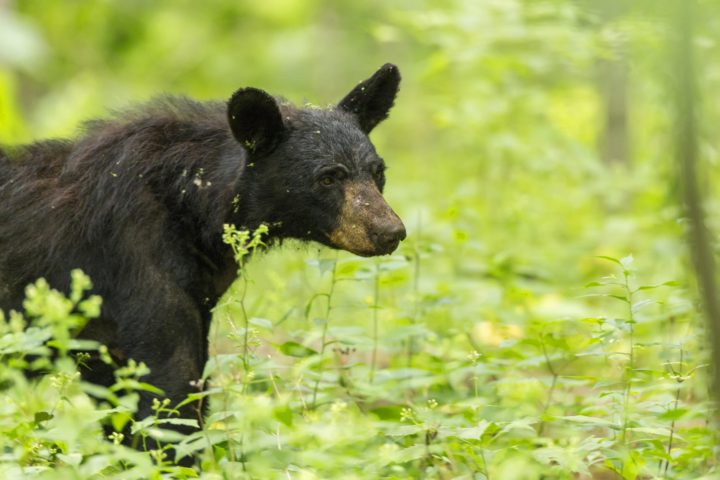 American Black Bear - Shenandoah National Park (U.S ...