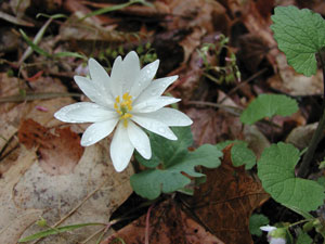 Bloodroot-(Sanguinaria-canadensis) is fully open, white petals give way to a showy yellow center. Flower is covered with dew.