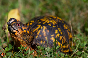 A vividly colored Box-Turtle with bright orange markings, has its head extended upward while standing in among grass and clovers.
