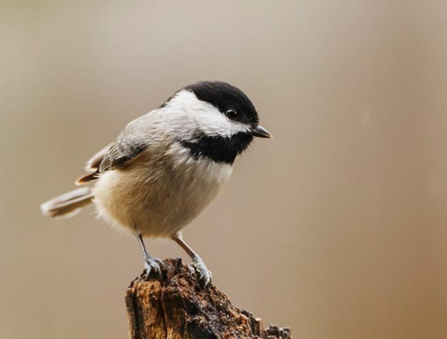 A carolina chickadee bird perches on a branch and looks off to the right.
