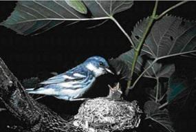 Cerulean Warbler feeding young in nest.