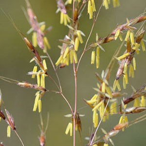 Close up view of Graminions sorghastrum looks like tiny yellow flags dangling off of a pinkish branched stem.