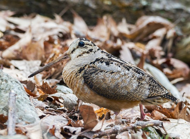 An american woodcock stands among a pile of brown leaves.